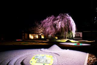 枝垂桜を全景で・・・