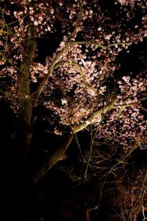 他にも600本を超える桜が。。。