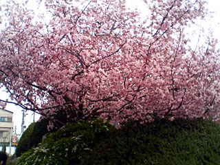 区役所前の桜