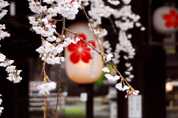 平野神社/魁桜