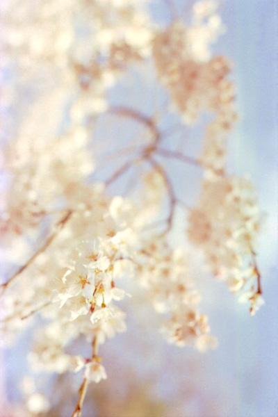 枝垂桜/淡彩
