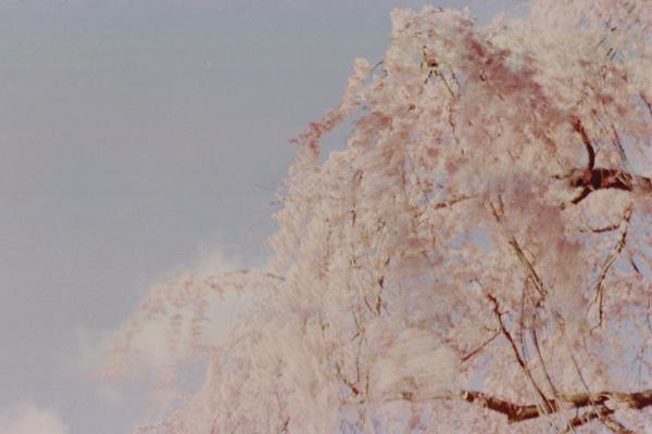 枝垂桜/京都御苑