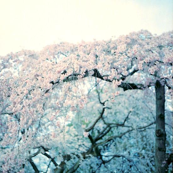 糸枝垂桜/旧近衛邸跡