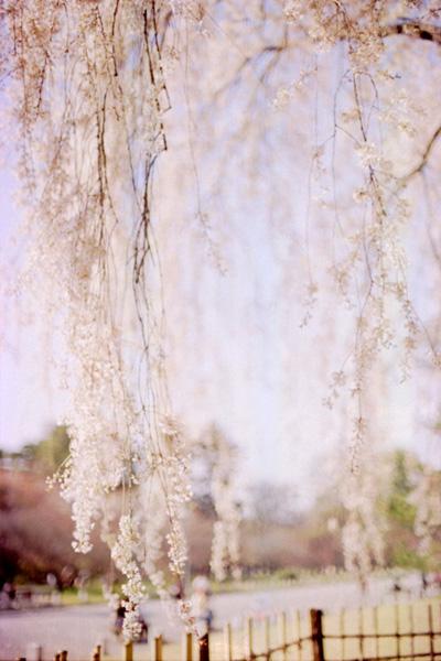 枝垂れ桜/京都御苑