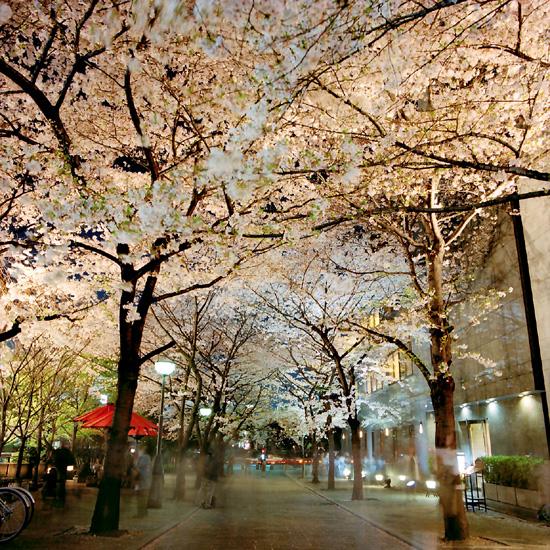 夜桜/白川~川端