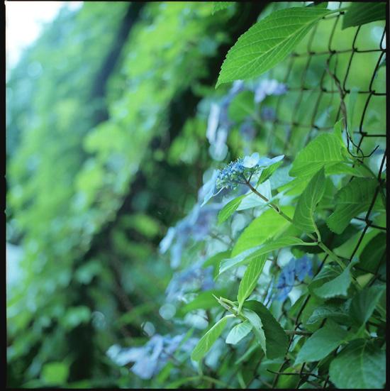 紫陽花フェンス