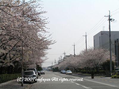 こんな感じの桜並木