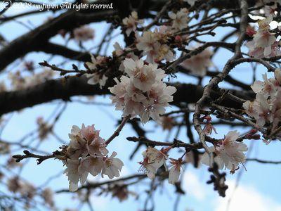 桜だった・・・。