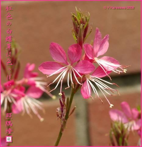 080914白蝶草薄紅