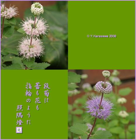 080916段菊