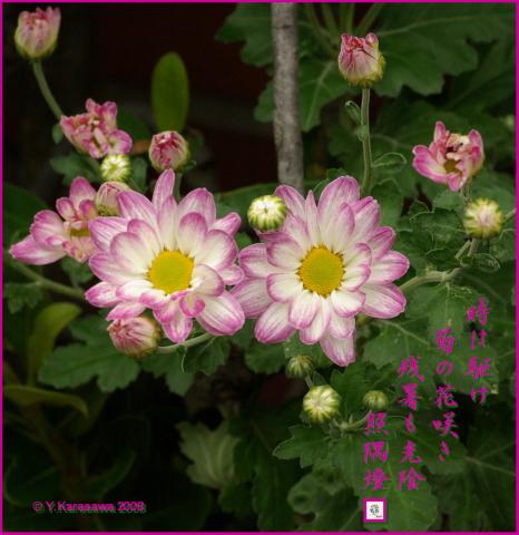 081001菊