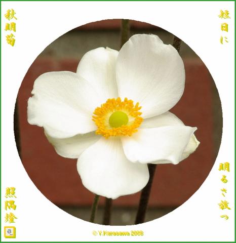 081010秋明菊