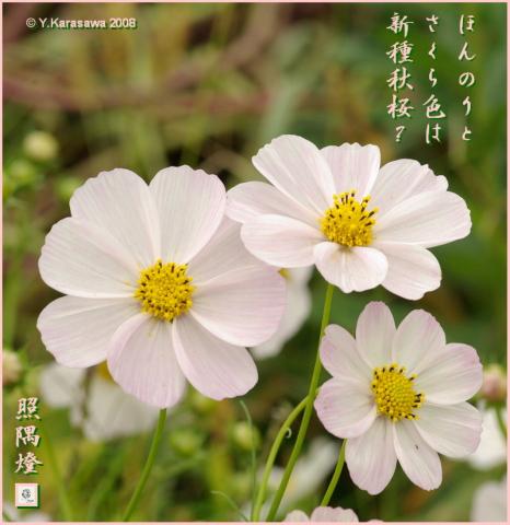 081019秋桜