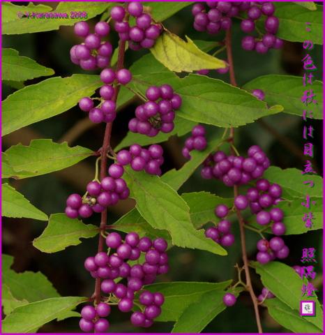 081021小紫