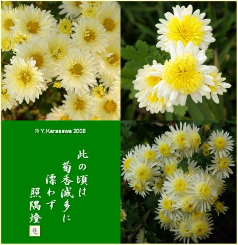 081024白菊