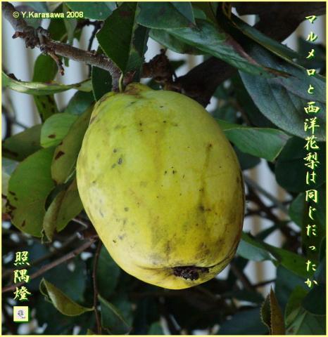 081101西洋花梨