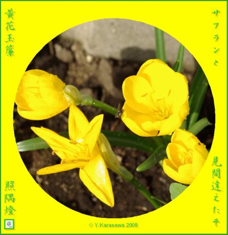 081104黄花玉簾