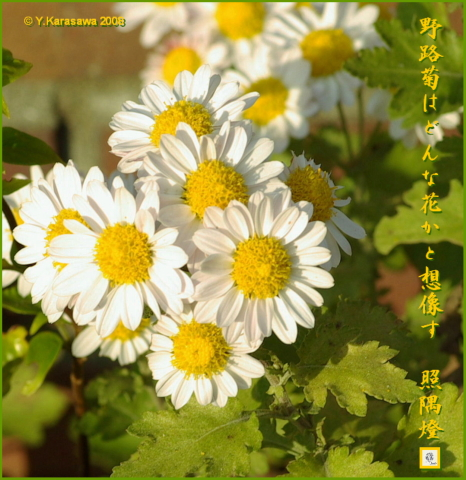 081114野路菊