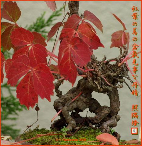 081117蔦の盆栽