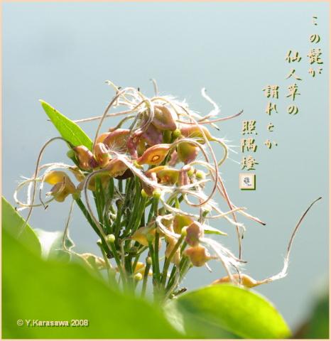 081119仙人草の実
