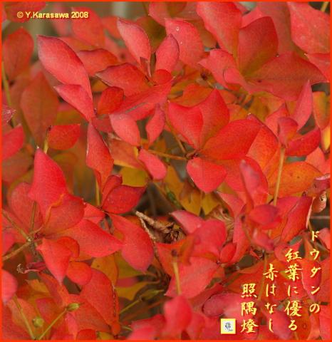 081128ドウダンツツジの紅葉