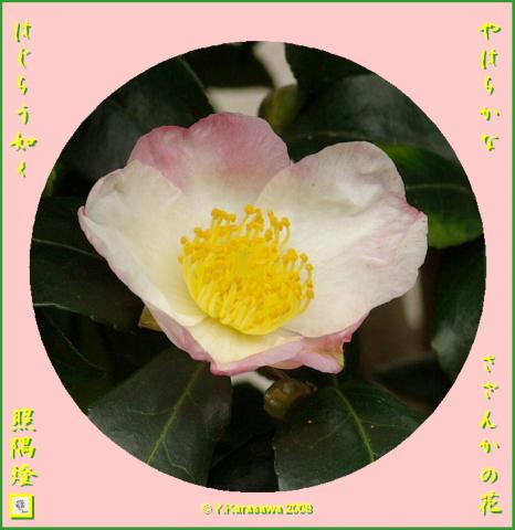 081204山茶花
