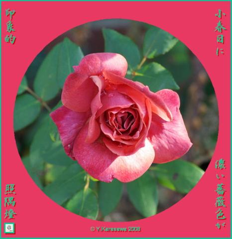 081206バラ色の薔薇