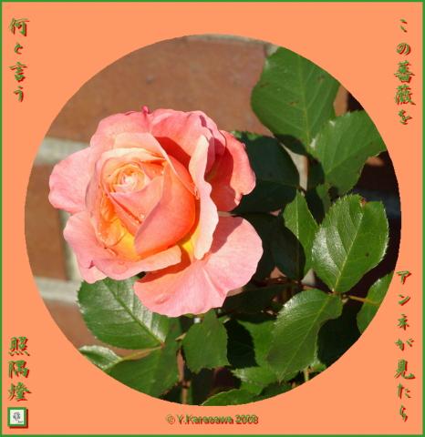 081211アンネのバラ