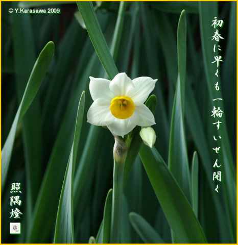 090108日本水仙