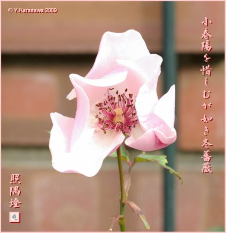090109冬薔薇