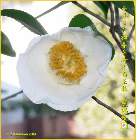 090120白玉椿