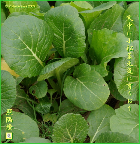 090122小松菜