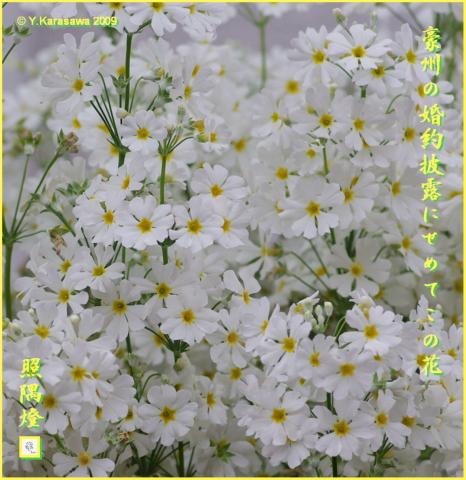 090201桜草白