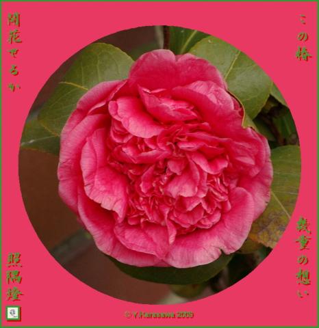 090204獅子咲き椿