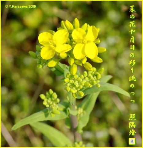 090206菜の花
