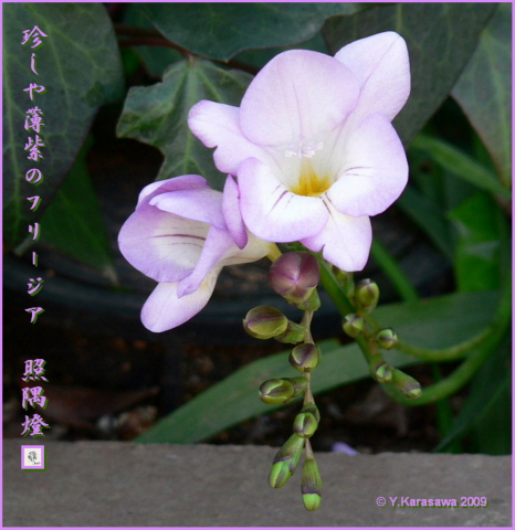 090211フリージア薄紫
