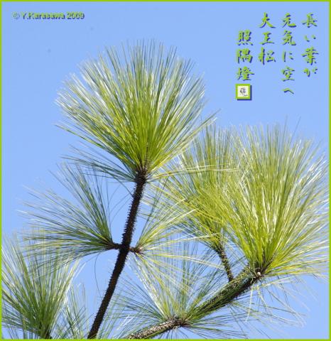 090218大王松