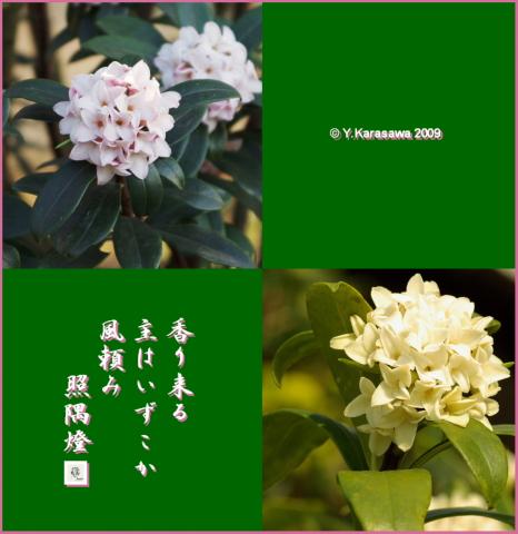 090223沈丁花