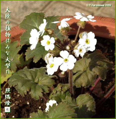 090228雲南桜草