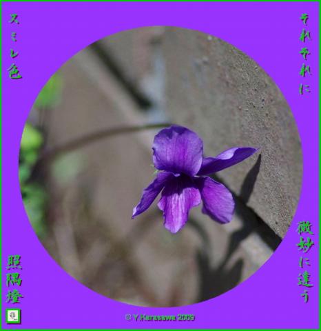 090301すみれ紫