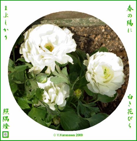 090302花金鳳花