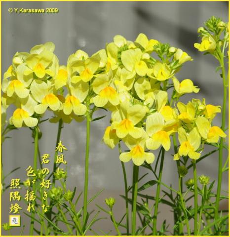 090307リナリア黄色