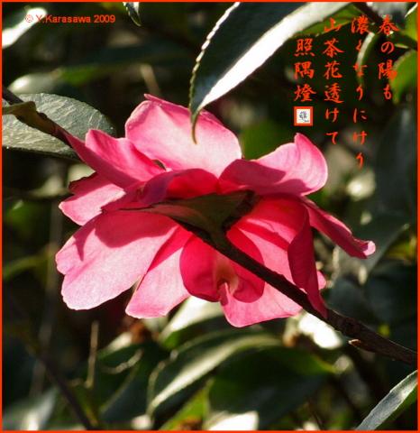 090316山茶花