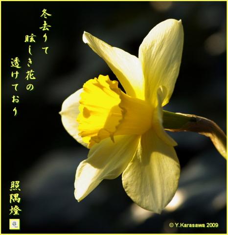 090320水仙
