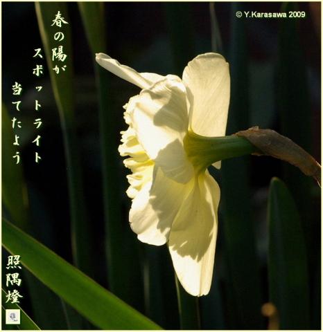 090325ラッパ水仙薄黄色