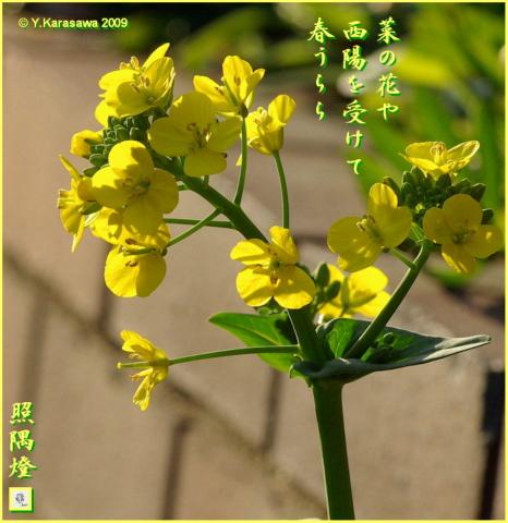 090327菜の花