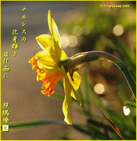 090329ラッパ水仙橙
