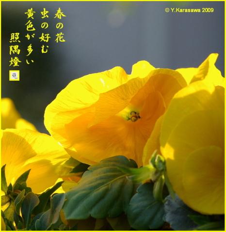 090317パンジー黄色