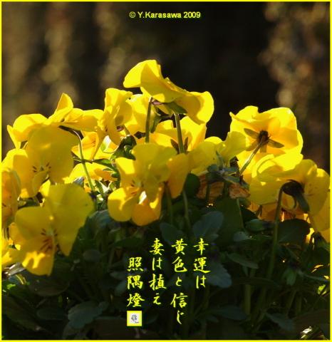 090331ビオラ黄色