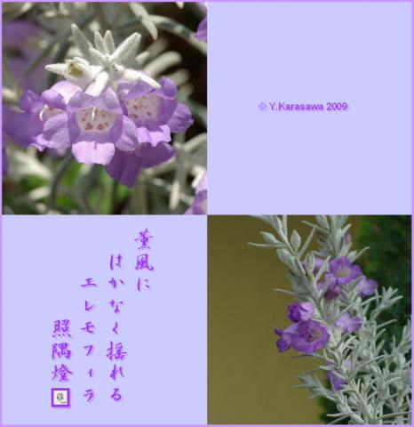 090518エレモフィラ・ニベア